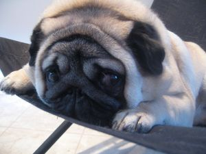 1280px-Gadget_the_pug_expressive_eyes